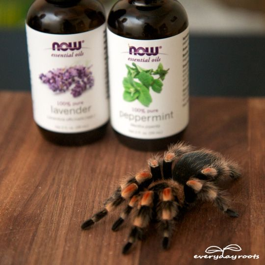 How to keep spiders out of your house: natural spider repellent with