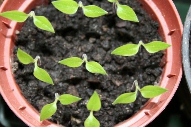 Выращивание рассады перца. Когда сажать? Посев, уход, сорта. Фото - Ботаничка.ru