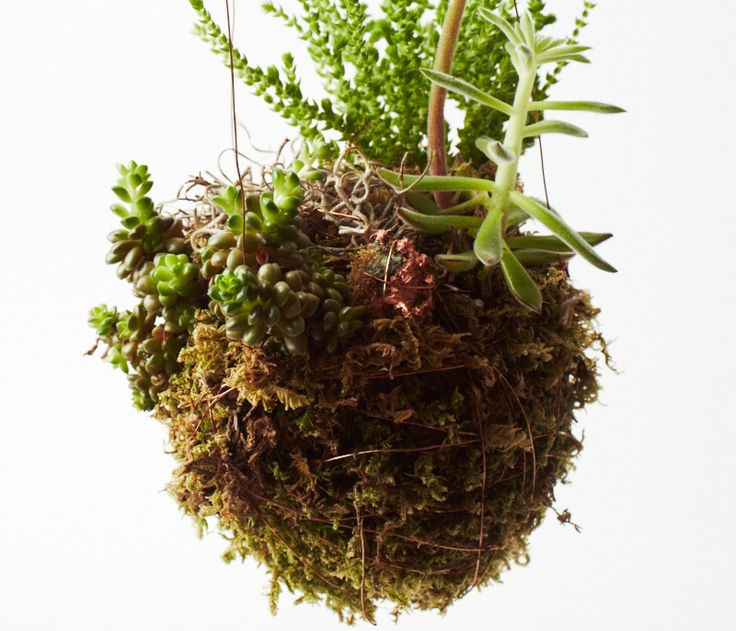 17 best images about kokedama on pinterest ferns root system and the japanese. Black Bedroom Furniture Sets. Home Design Ideas