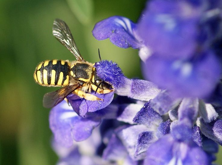 Wool Carder Bees