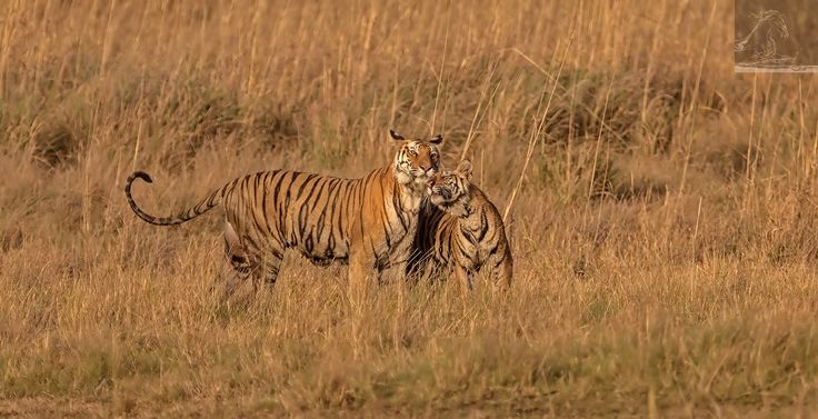 Bandhavgarh 040 - A moment of bonding between mother and child: an adult female Bengal tiger with her cub - Bandhavgarh, India…