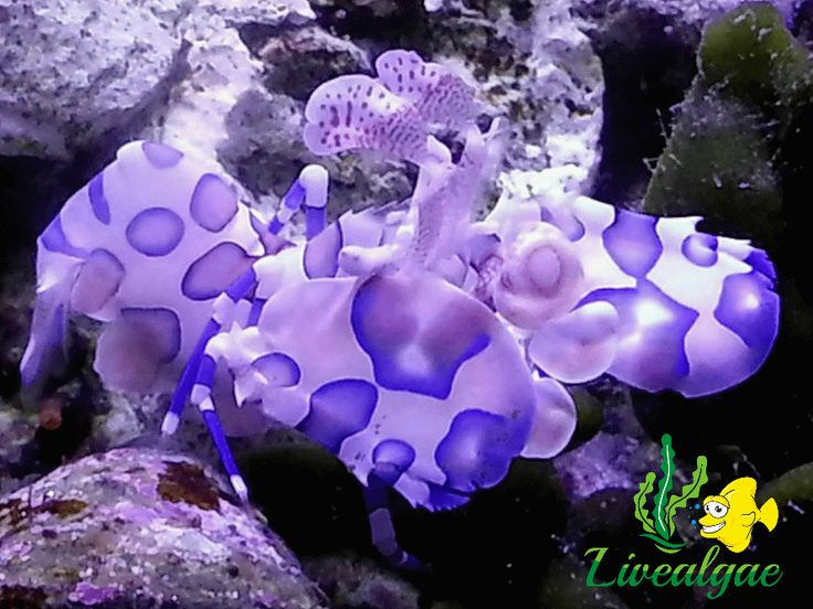 Our Harlequin Shrimp. Beautiful, isn't he? But very picky when it comes to food, as they just eat starfish. You need to see it in action :) So funny  #marineaquarium #reefaquarium #marinetank #l4l #like4like #FF #followback #followme #follow4follow #followback #f4f #love #sun #followbackalways #followbacknow #followbackteam #harlequinshrimp #like4follower #tags4likes #tbt #follow #followme #like4follow #l4f #love #aquarium #shrimp