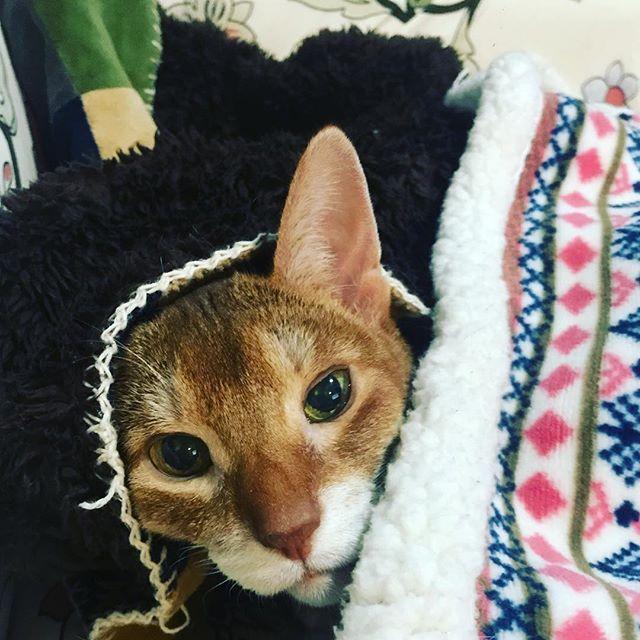 今日は耳の日でもあるにゃ^ↀᴥↀ^ #ねこ島日記 #ねこぶ #ねこ部 #ゲーム #パズル #にゃんだふるらいふ #にゃんすたぐらむ #猫好きな人と繋がりたい #ねこ島 #猫島 #アビシニアン #cat #abyssinian #愛猫 #みんねこ #毎日が猫祭 #ねこのきもち #ねこのきもち部 #ピエトロ #耳の日