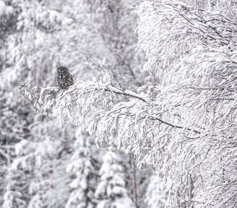 The Great Northern Forest has stood tall for thousands of years. It stores more carbon in its trees and soils than all the tropical rainforests put together so its survival is crucial role to prevent climate chaos. greatnorthernforest.org #greatnorthernforest #wildlife #nature #snow #beautiful #finland #winter #owl
