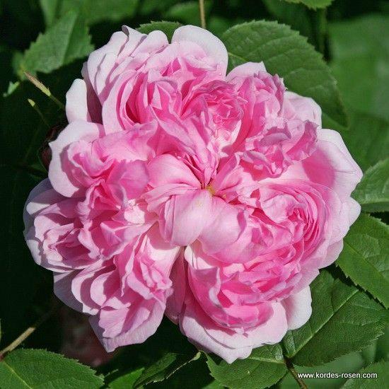 9 best jacques cartier rose images on pinterest jacques. Black Bedroom Furniture Sets. Home Design Ideas