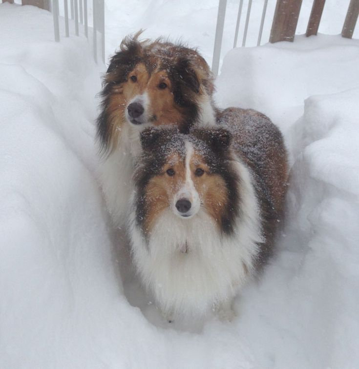 Sheltie Lovers.                                                  So much like our 'Lady'.  Missing her.