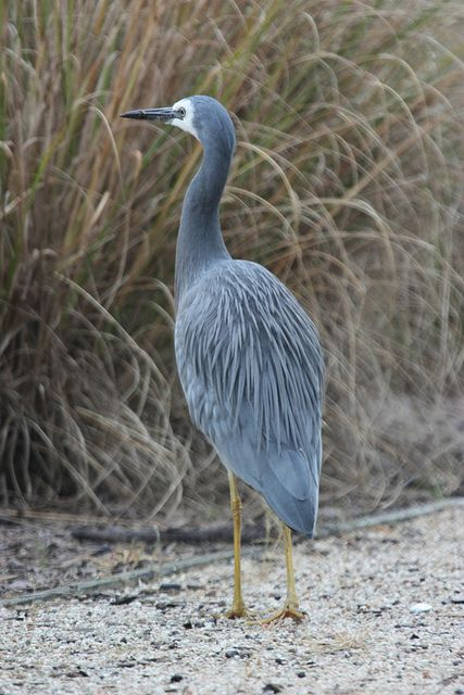 White-faced Heron   by R_P_F