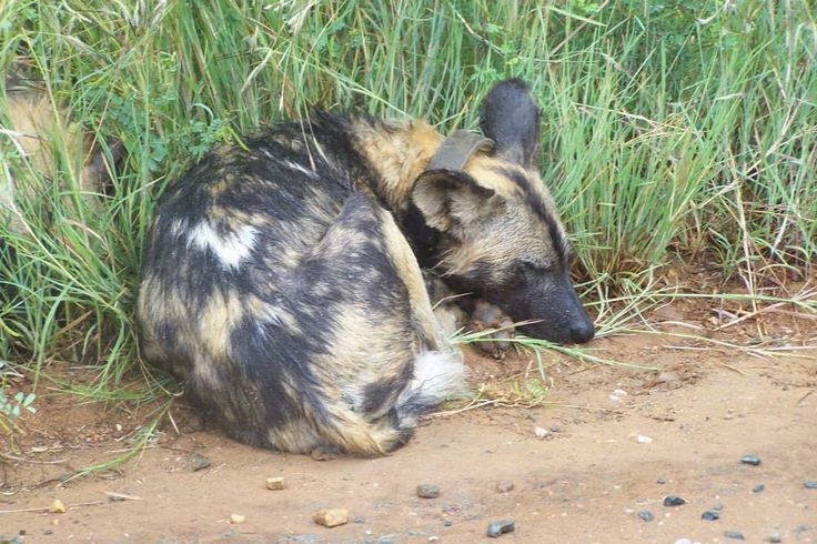 Hyena's & Wild Dog's Spotted.