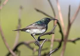 Image result for white bellied sunbird south africa