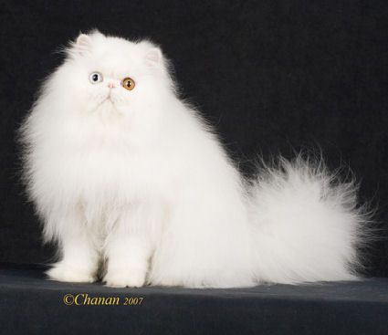 Persian doll face cat prijs