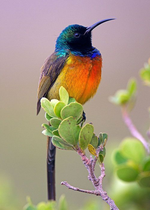 Orange-Breasted Sunbird - (Anthobaphes violacea) Endemic to South Africa.
