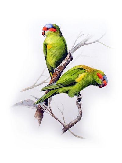 musk lorikeet parrot watercolour - Absolute Hooligan art by Tim Niall-Harris
