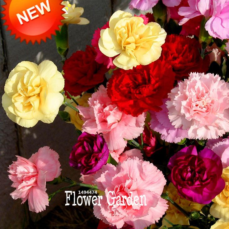 Big Promotion!200 Seed/lot Cut Mix Carnation Seeds Balcony Potted Courtyard Garden Plants Dianthus Caryophyllus Flower Seeds,#I7