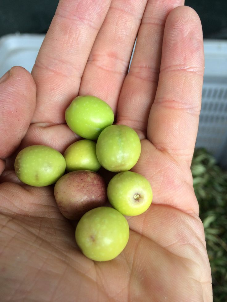 Arbequina olives just as they enter into the mill this week