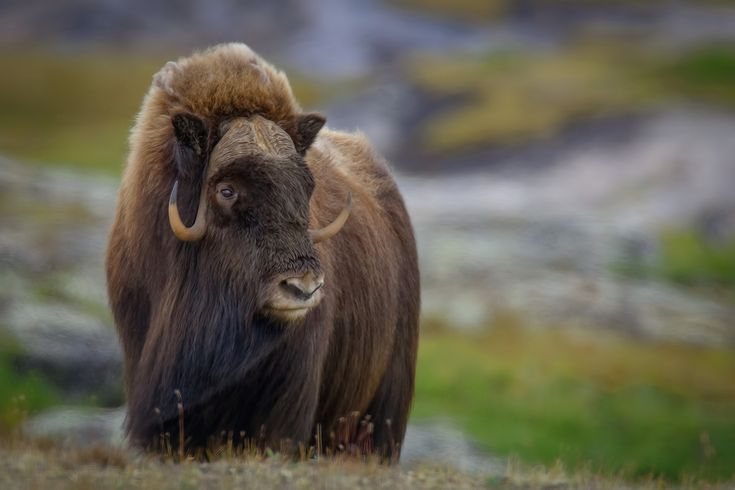 Male Musk-ox at Dry Bay Tundra, Near Kuujjuaq, Northern Quebec. Photo by Alan D. Wilson.