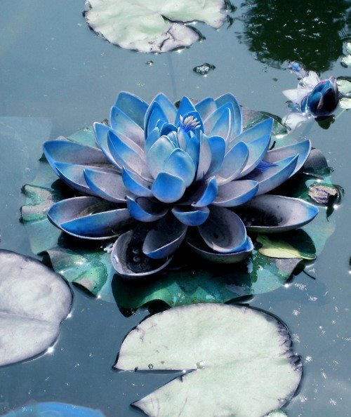 """Nymphaea caerulea - """"The blue Lotus flower has been steeped in symbolism since the time of the Egyptians, where it was used as a metaphor for re-birth and of the Sun. It also plays a key role in Buddhism where it's color is thought to be associated with a victory of the spirit."""""""