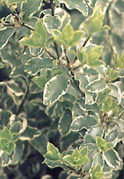 Pittosporum tenuifolium Silver Queen - arbusti ornamentali sempreverdi online - arbusti online - cm 250-300 bruni, poco visibili verdi marginate di bianco
