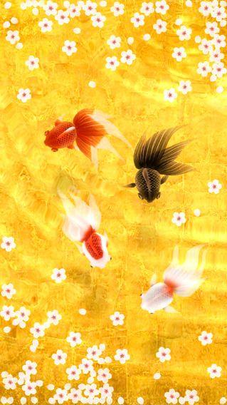 Wa Kingyo Masataka Hakozaki 금붕어 물고기 물고기의 움직임이 약간 어색함