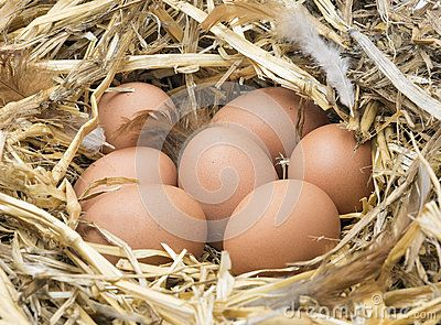 Large  brown chicken eggs and brown hen feather in a straw nest.