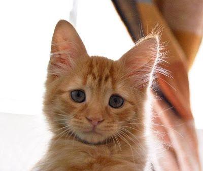 Gatitos: imágenes, informacion y cuidados: Imagenes de Gatos: gatito con mirada triste   [29-...