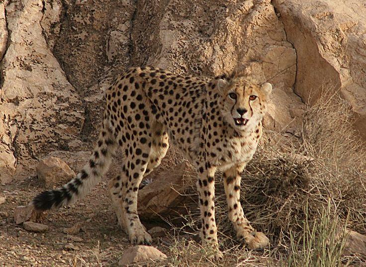 Asiatic Cheetah - (Source: Arash Ghoddousi/IRIran DoE/CACP)