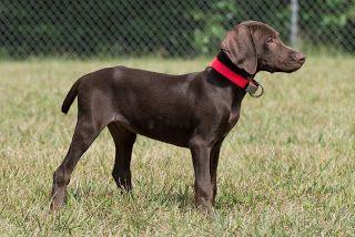 Vizmaraner - Dog Breed Information - PetBreeds
