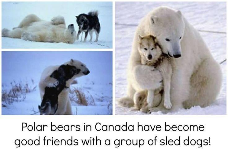 Polar bear and husky dog hugging | HUG | Pinterest | Polar ...