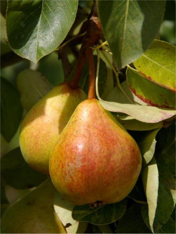 Pears on tree. Pere.