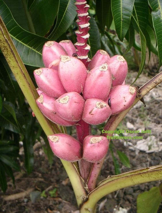 Pink Banana - Rare Fruit Seeds and Exotic Tropical