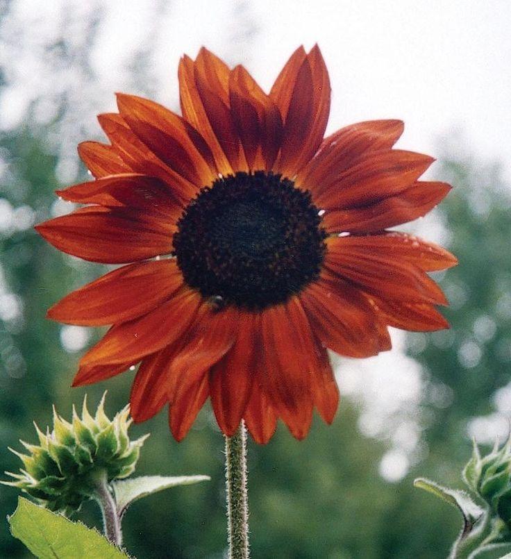 SUNFLOWER - EARTHWALKER - Pinetree Garden Seeds - Flowers  - 1