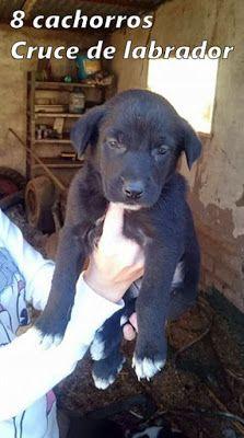 CACHORROS EN ADOPCIÓN: 8 cachorros cruce de labrador para adoptar, tienen...