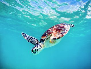baby sea turtle hawaii by michael sweet