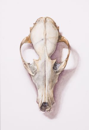 Saara Vainio: Ketun kallo / Skull Of A Fox. Watercolour, 17 x 25 cm. 2010