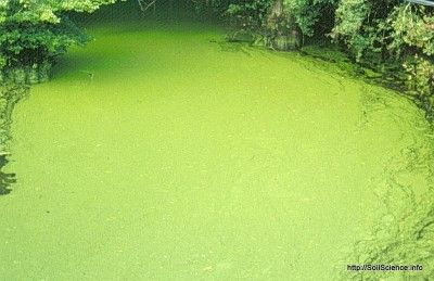 Pond And Aquarium Algae Removal: How To Get Rid Of Algae - One of the biggest problems faced by people who maintain aquatic environments is algae. Algae control for aquariums is different from methods used for ponds, but regardless, tips from this article will help.