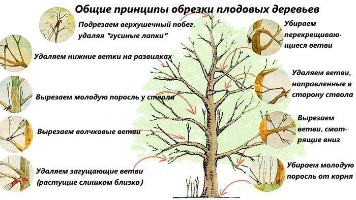 Урожай в вашем саду зависит и от обрезки плодовых деревьев