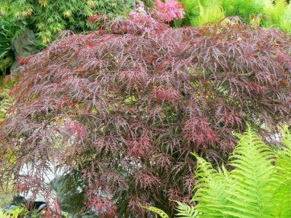 Japán juhar ujjas levelű (A.p.dissectum) (Acer palmatum dissectum ): Télálló egzóták | Ár: 8000.00 Ft
