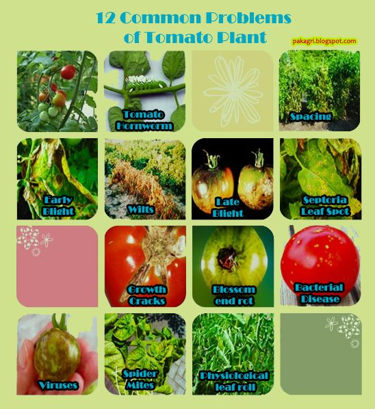 12 Common Problems of Tomato Plant