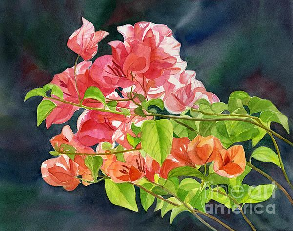 Peach Colored Bougainvillea With Dark Background Canvas Print / Canvas Art by…