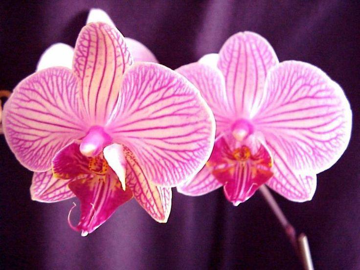 les orchidees | Publié le 23/01/2010 à 17:42 par acoeuretacris Tags : orchidée ...