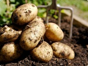 Find out ways to start growing your own potatoes.