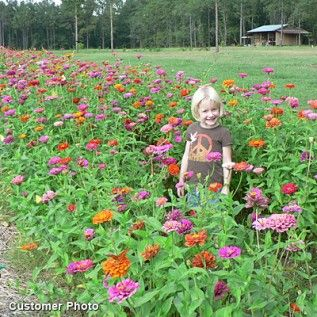 Zinnias deter cucumber beetles and tomato worms. They attract predatory wasps and hover flies, which eat insects that would destroy garden plants. They attract hummingbirds, which eat whiteflies before those flies can damage tomatoes, cucumbers and potatoes.