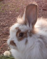 Petrichor is an adoptable Angora Rabbit Rabbit in Seattle, WA. This little bunny is a house rabbit looking for a rabbit adoring home. His name is Petrichor, meaning, 'The distinctive scent which accom...