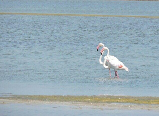 Flamingos - stagno di Cabras - OR ©Lumachina