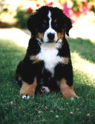 Bernese Mountain Dog--my dog is supposedly 1/2 this, 1/2 mastiff. Doubtful since he only weighs 45 lbs.