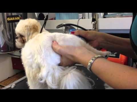 How to Groom a Shih-Tzu (Haircut Part I)