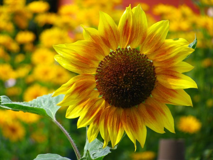 girasoles flores - Yahoo Image Search Results