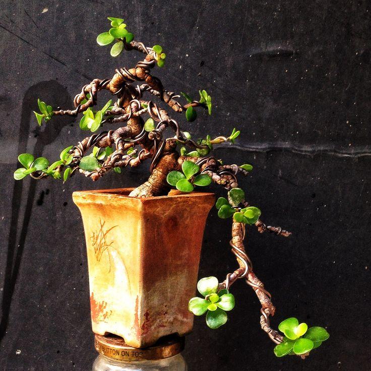 A small cascade dwarf jade bonsai