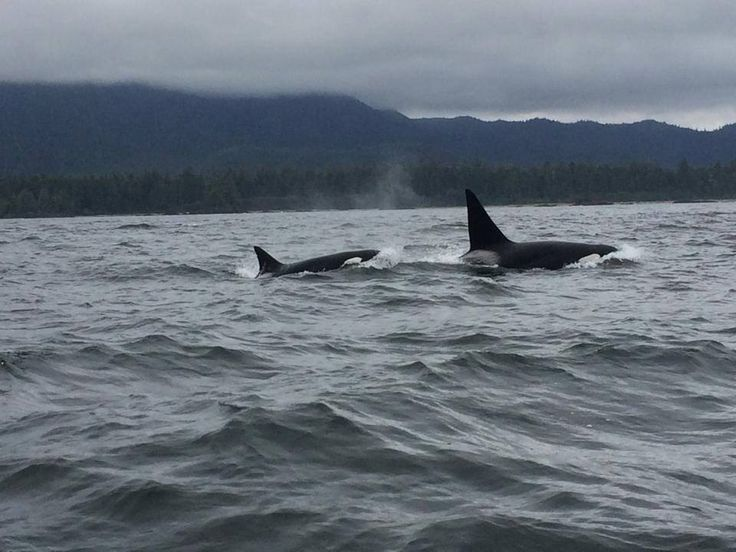August 29, 2014: We (The Transient Killer Whale Research Project) are excited to report an encounter by Howie Tom of the Whale Centre in Tofino BC. He sent in photographs of the T011s (T011 and T011A) who were looking healthy. We are happy to report T011 one of the oldest transient matriarchs is still around,and hasn't been sighted since April. They were last scene off Wickaninnish around 7:00PM. Photographs by Howie Tom