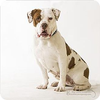 english bulldog bull terrier mix 19 best images about staffordshire bull terrier old 3334