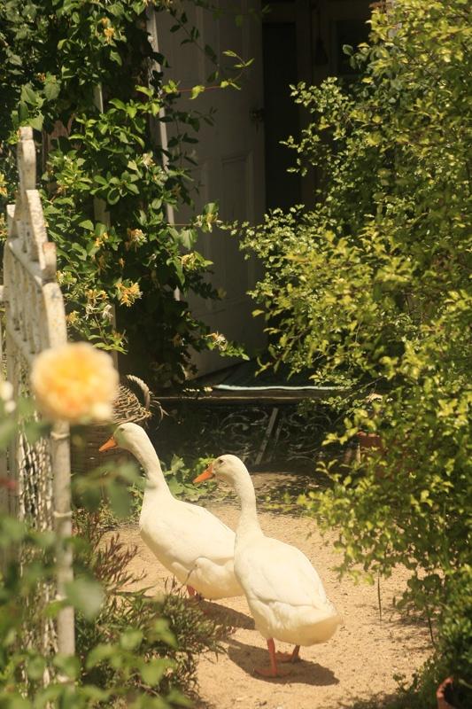 Ducks outside Garden Room, Kentucky Roses NSW